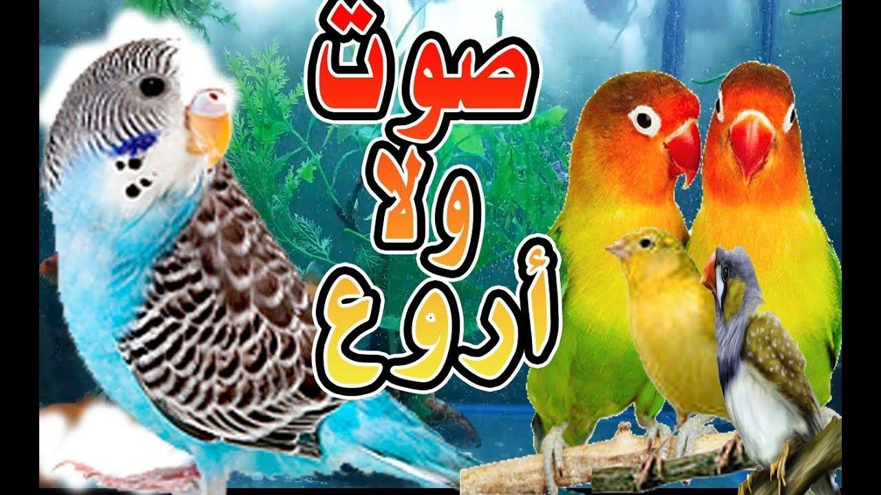 مادا لو قمنا بخلط صوت طيور البادجي مع صوت الكناري وصوت طيور الزيبرا وخري Birds Animals Bird