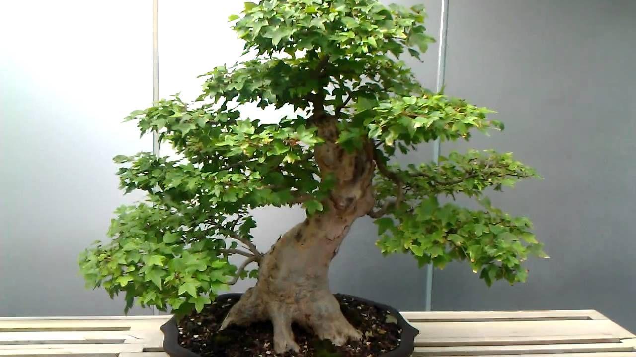 55 Year Old Bonsai Tree 55才盆栽 Bonsai Bonsai Tree Bonsai Styles