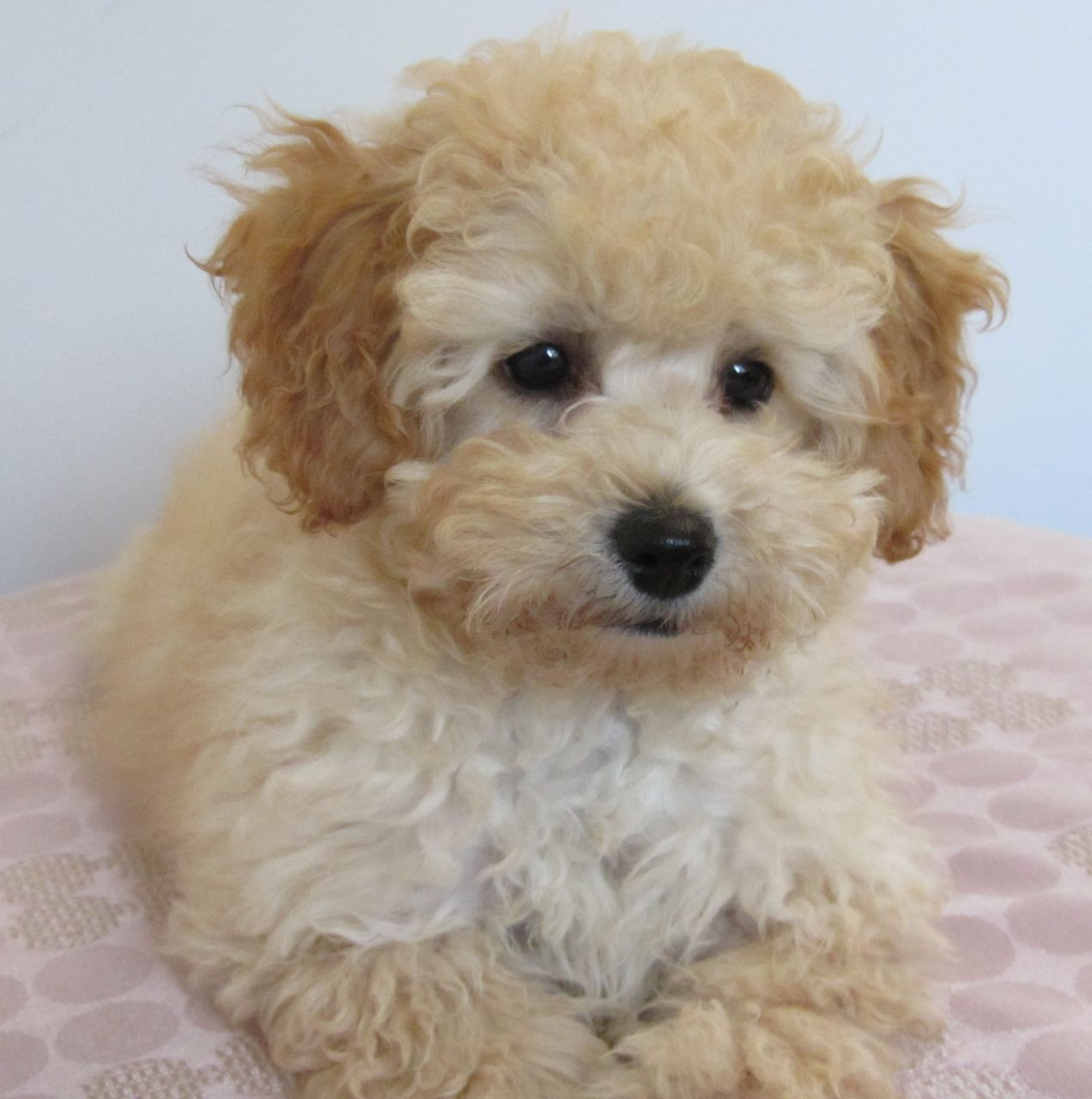 Pictures Of A Mini Poodle And Bichon Mix Breeds Yahoo Image