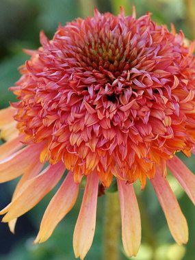 Echinacea Secret Desire Plants Echinacea Flowers Perennials