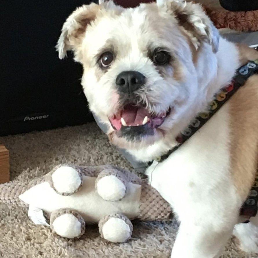 bully-tzu (shih tzu x bulldog) | shih tzu, dogs, dog mixes