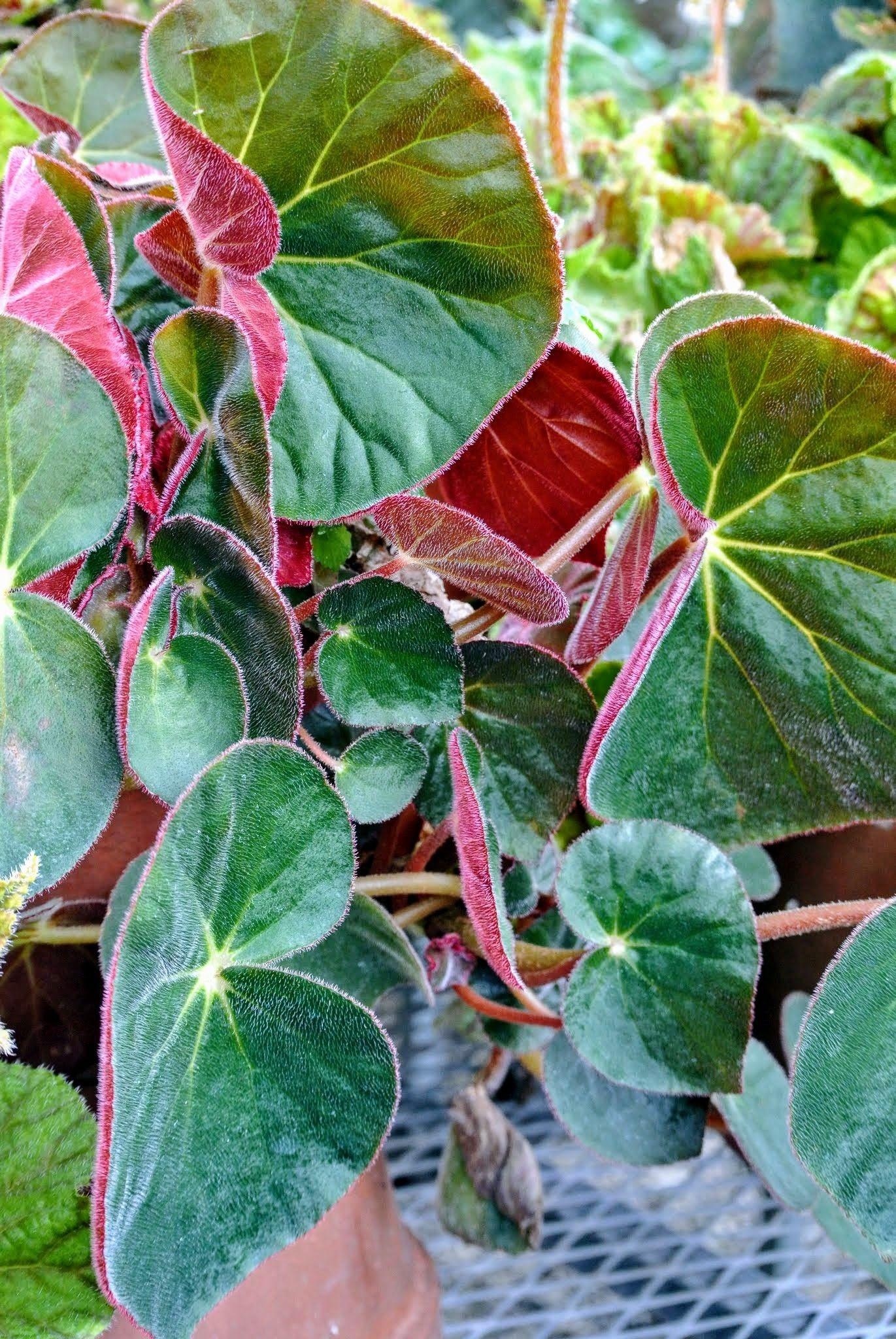 Begonia Acetosa Con Imagenes Begonia Plantas Flores