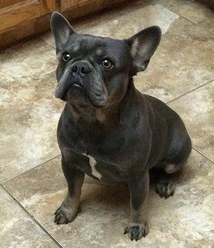 French Bulldog Puppy For Sale In Fresno Ca Adn 54703 On