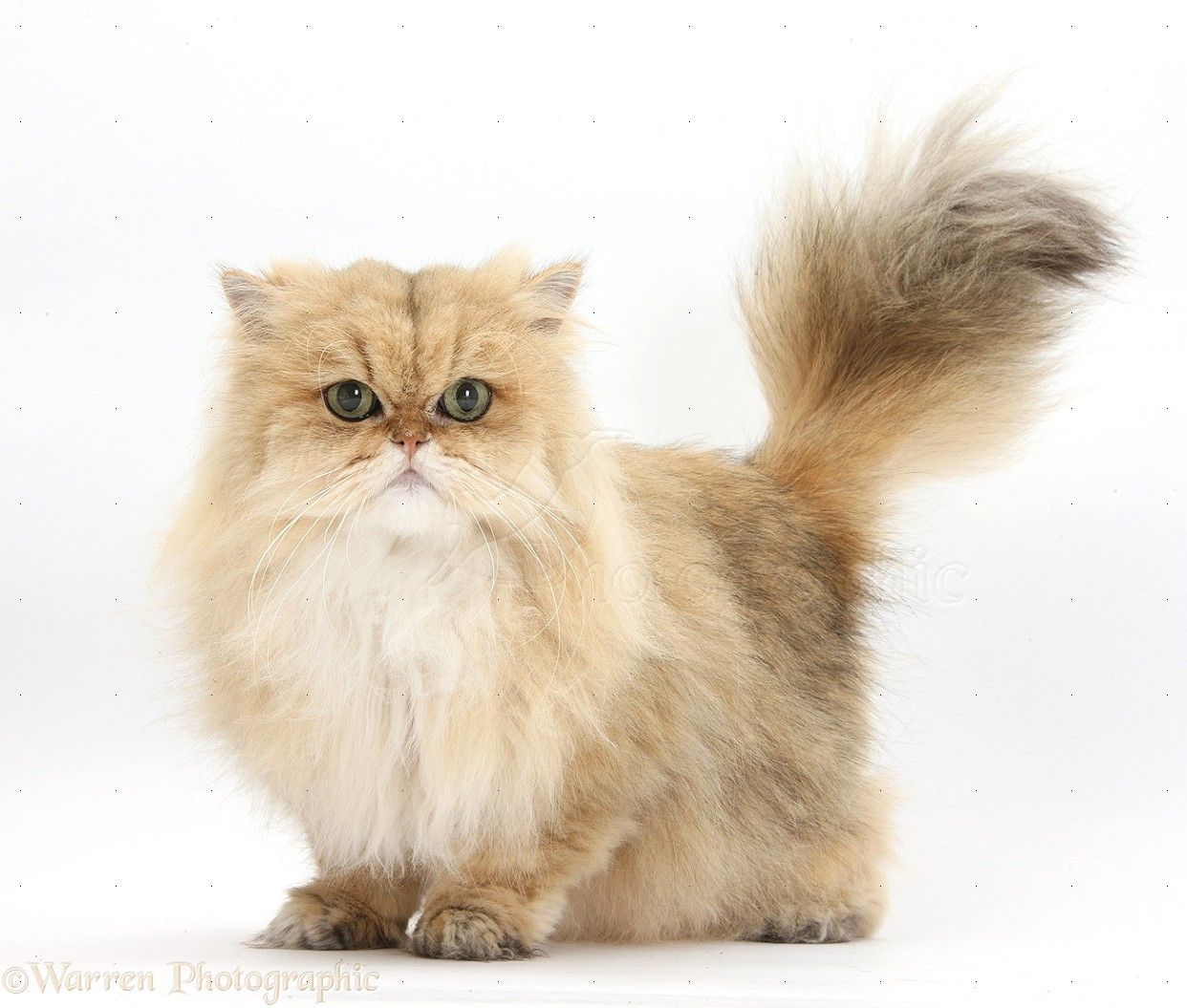 Golden Chinchilla Persian Cat Ragdollbreeds Different