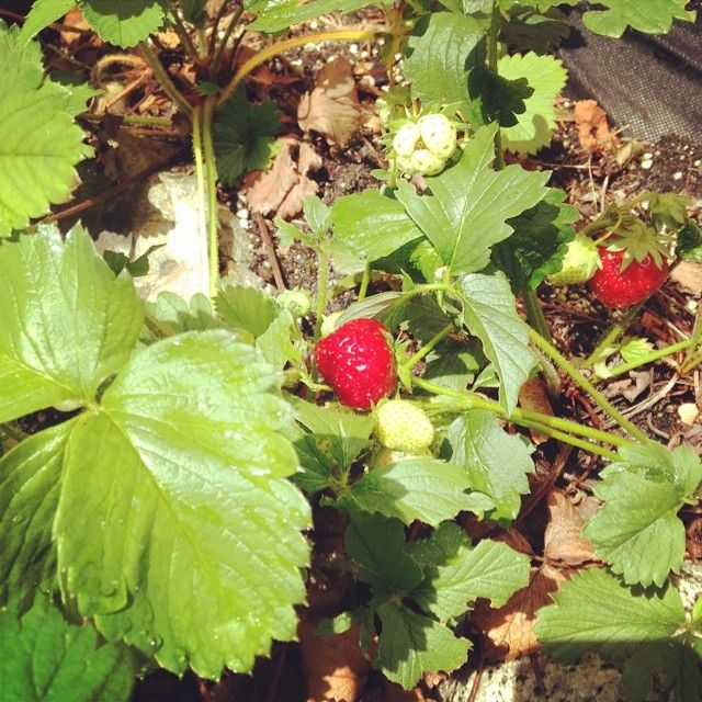 And with a spot of sunshine, out come my strawberries! #gardenlove