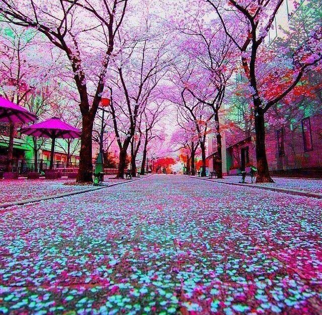Ciliegi in fiore, Tokyo
