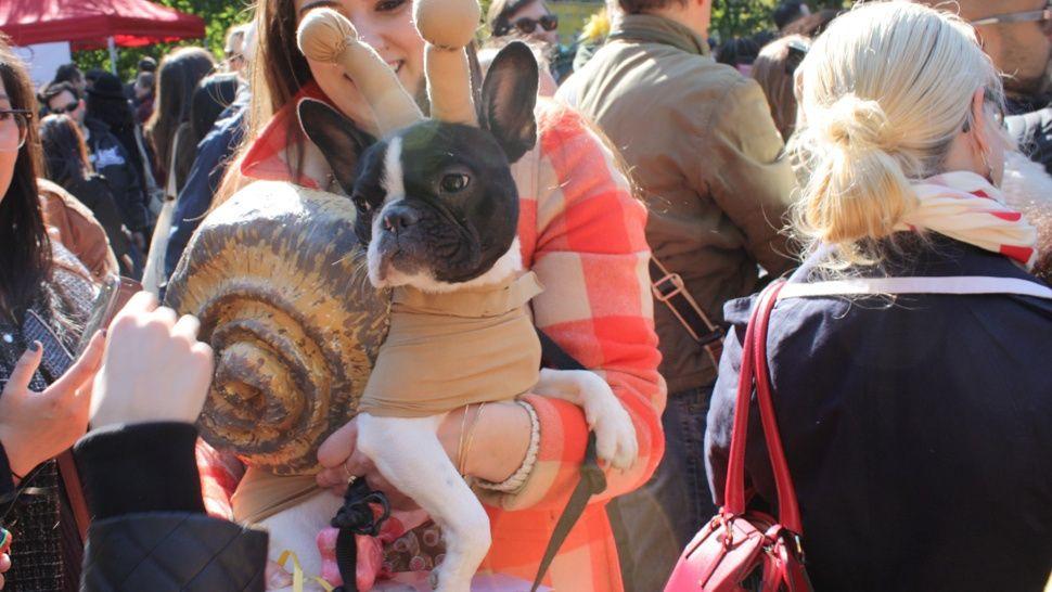 Meet Winnie A Very Rare French Bulldog Mollusk Hybrid Dog