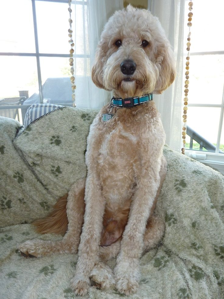 Goldendoodle Haircut Goldendoodle Haircuts Jake Pinterest