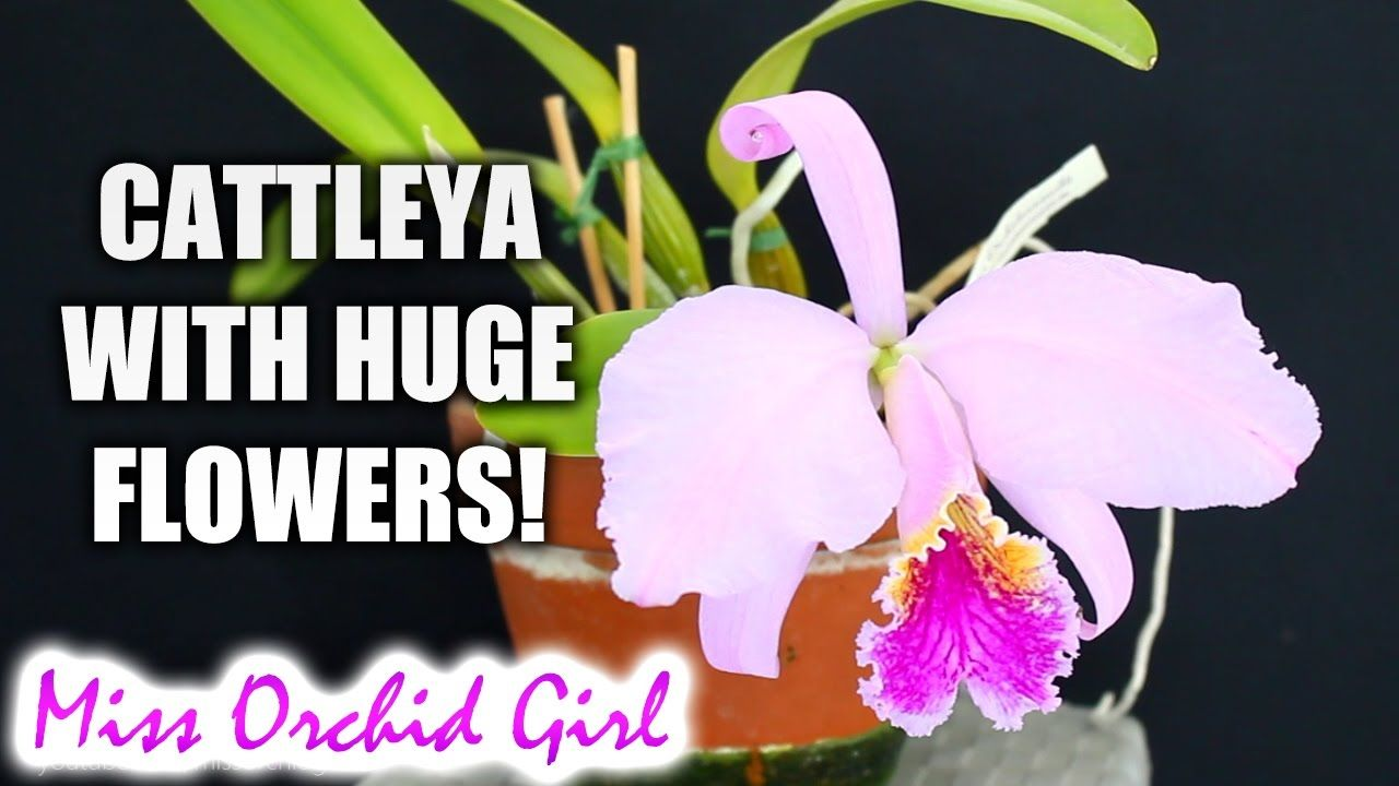 Biggest Orchid Flower In My Collection Cattleya Mossiae Cattleya Orchid Flower Orchids