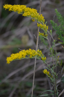 Solidago nemoralis (Old Field Goldenrod)