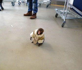Pet Scoop: Monkey Shocks IKEA Shoppers, Kim Kardashian Heartbroken Over Kitten