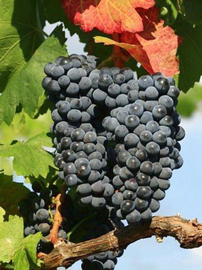 Swenson Red Vitis Weinrebe
