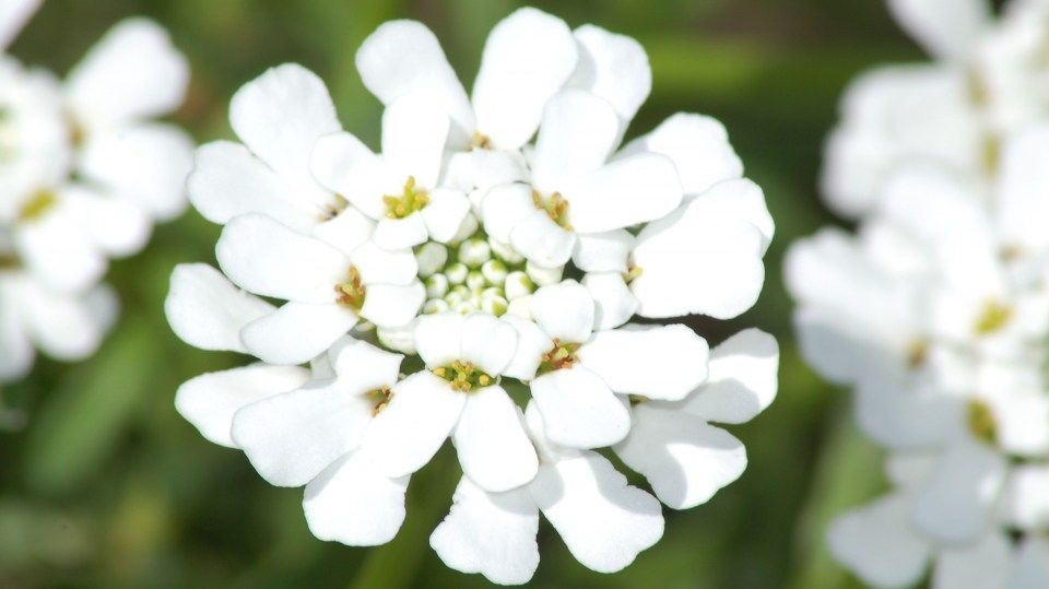 Flower Candytuft Iberis Is So Famous But Why Flower Candytuft Iberis Https Ift Tt 2luycz7 Edging Plants Landscaping With Rocks Herbaceous Perennials
