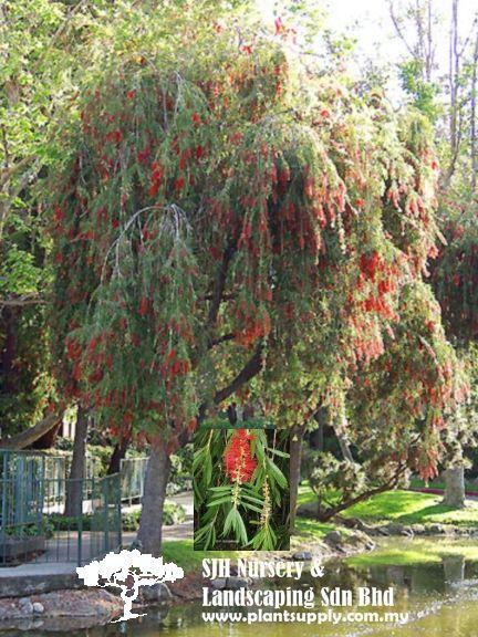 T010501callistemon Viminalis Weeping Bottlebrush Nursery Supplies Whole Plants Plant