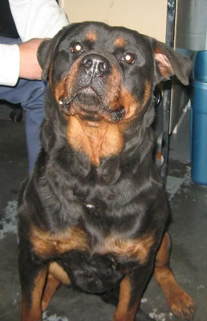 Dog Finder Adopt A Dog Or Cat Near You Rottweiler Dog Names
