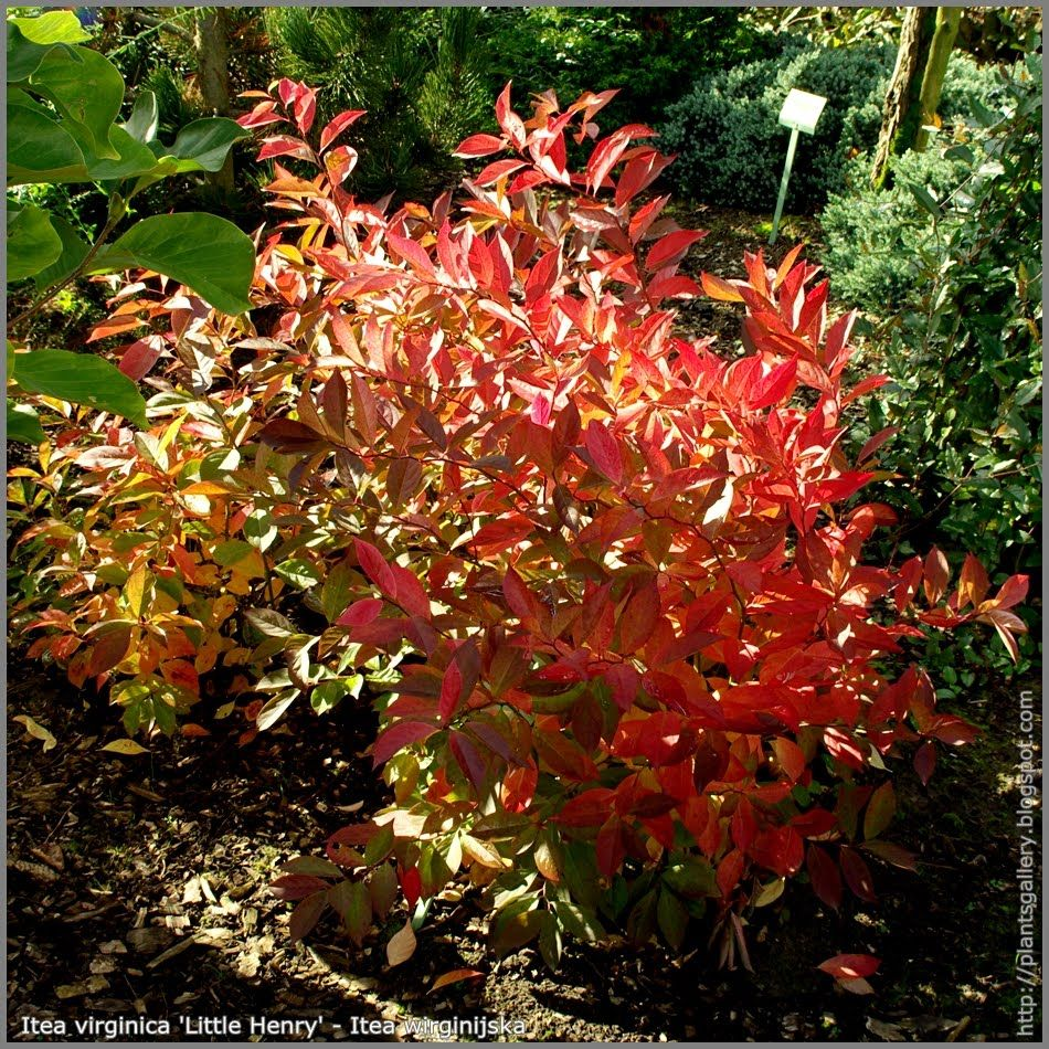 Shrubs to plant in fall - Itea Little Henry Sweetspire Fall Colors