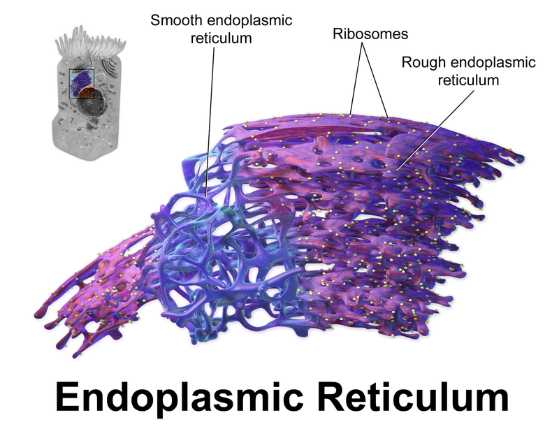 A Network Of Membranous Tubules Within The Cytoplasm Of Eukaryotic
