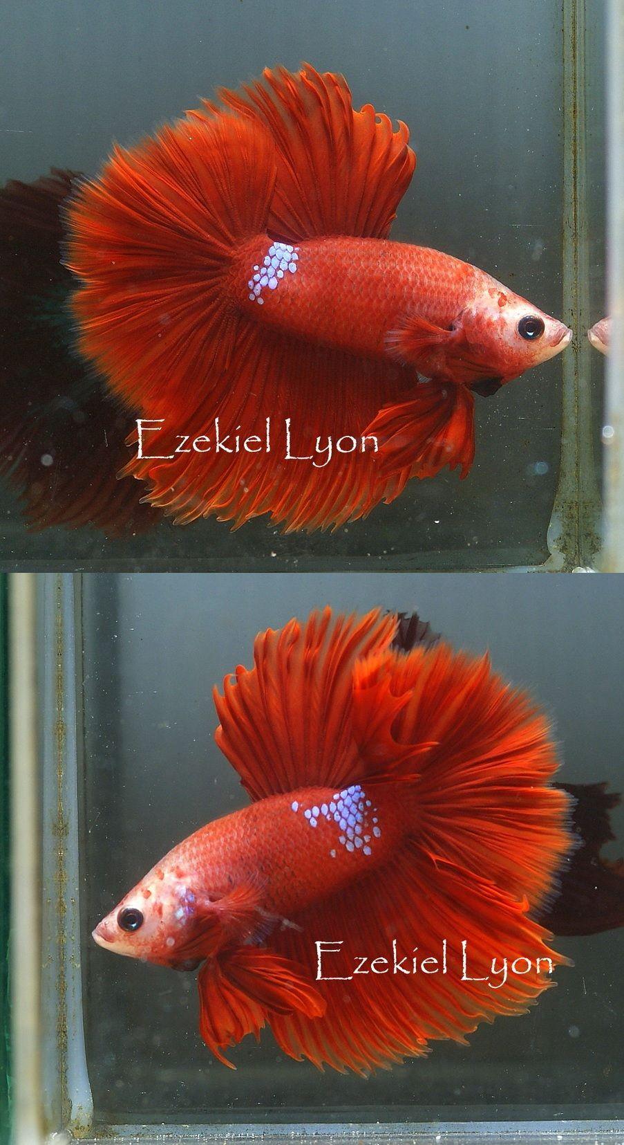 fwbettashm1399134610 - JEWELS! Red Fancy HM &ltUnique!> | Halfmoon ...