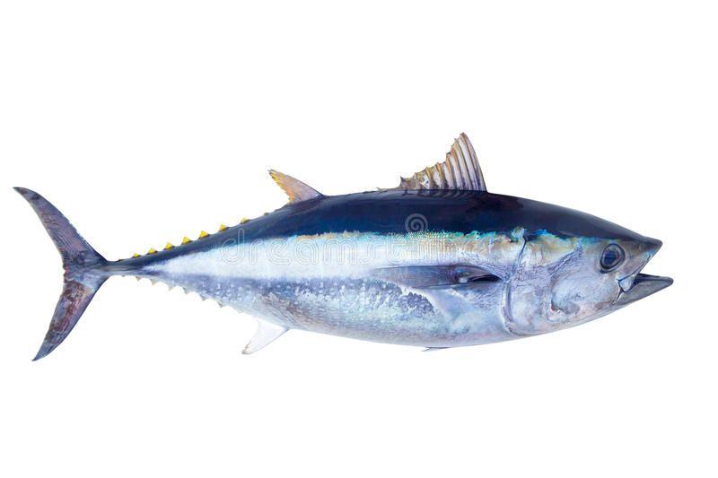 Bluefin Tuna Thunnus Thynnus Saltwater Fish Isolated On White Aff Thunnus Thynnus Bluefin Tuna Isolated Ad 魚の描き方 本マグロ 魚イラスト