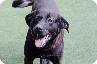 Asheville Nc Plott Hound Mix Meet Bentley A Dog For Adoption