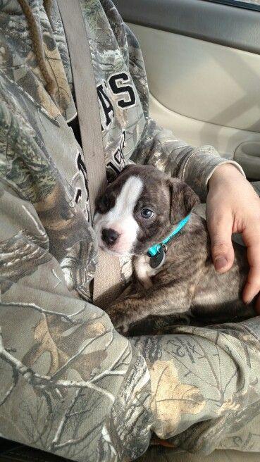 8 Weeks Baby Brindle American Pitbull Pitbull Puppies I Love