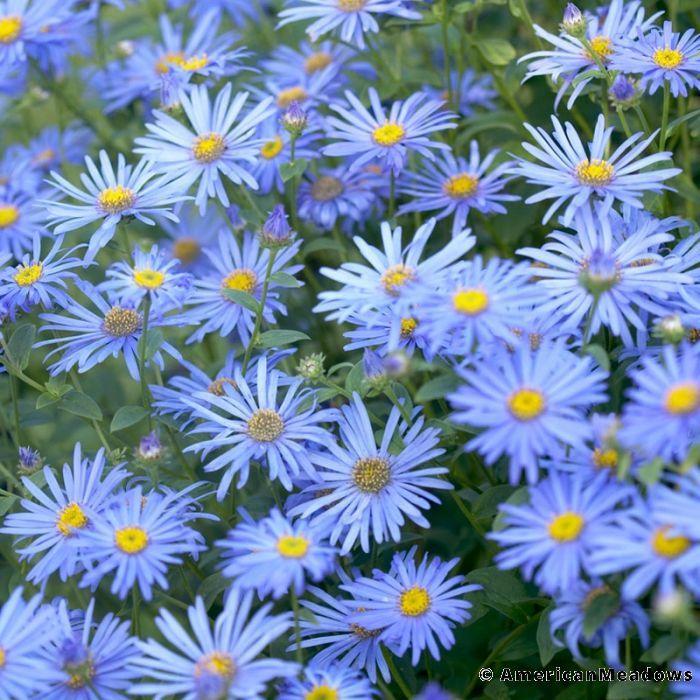 Monch Frikart S Aster Aster Flower Flowers Perennials Aster