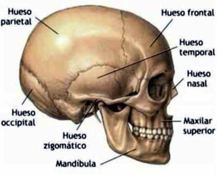 Cráneo humano | esqueleto | Pinterest | Cráneo humano, Huesos y ...