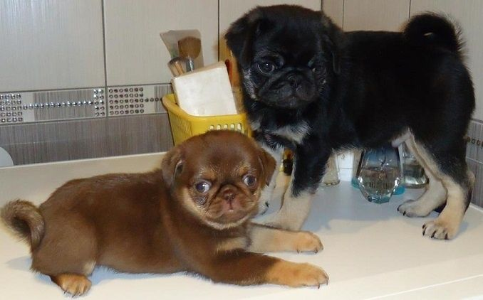 Pug Colors Google Search Cute Pug Puppies Cute Pugs Pugs
