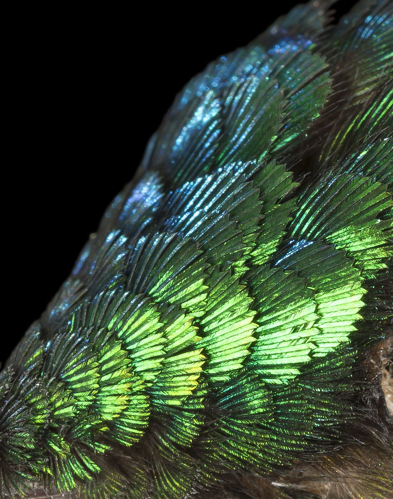hummingbird feathers house of wings pinterest hummingbird