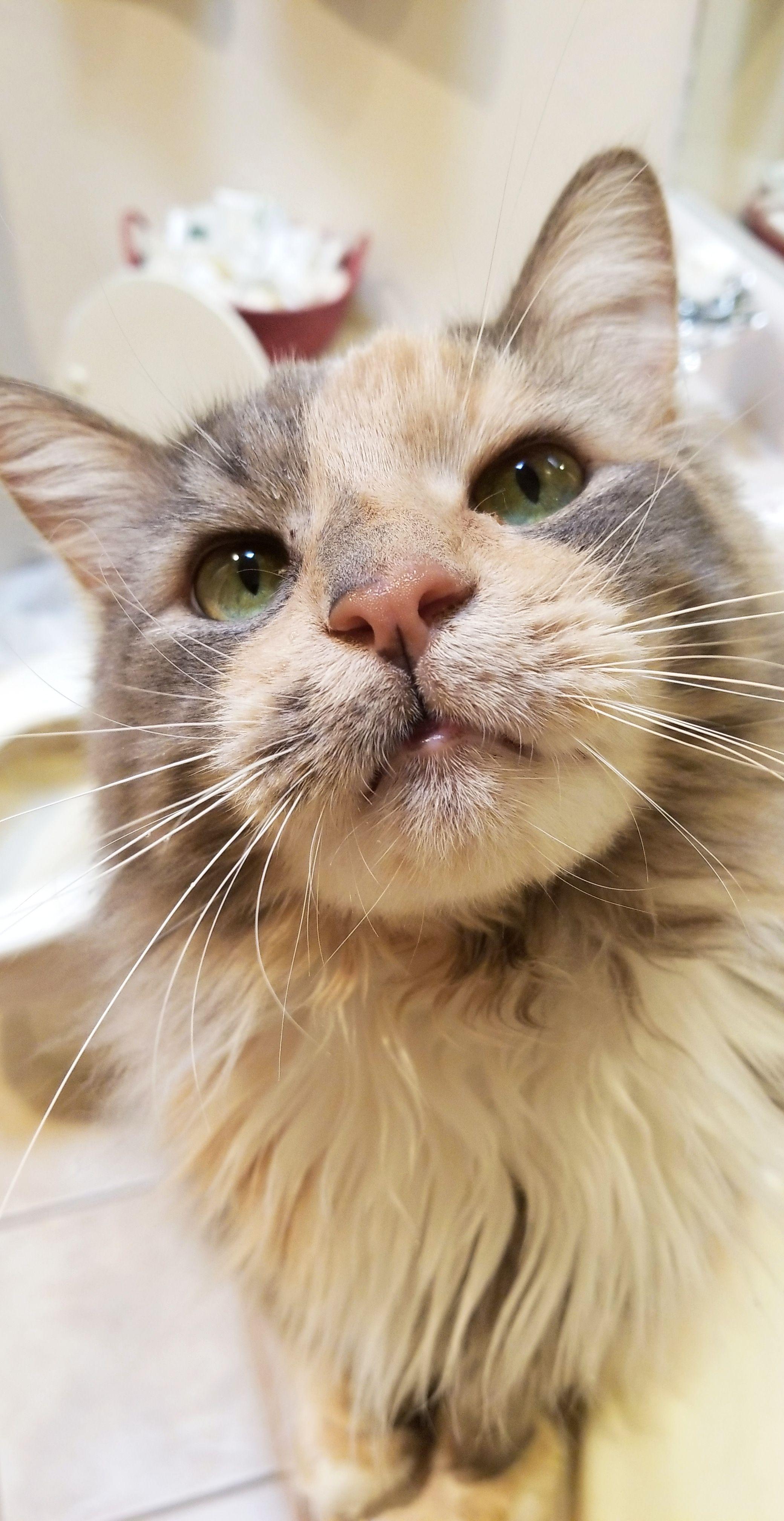 Meet Ariel!https//ift.tt/2rnIk5d Kittens cutest, Cats