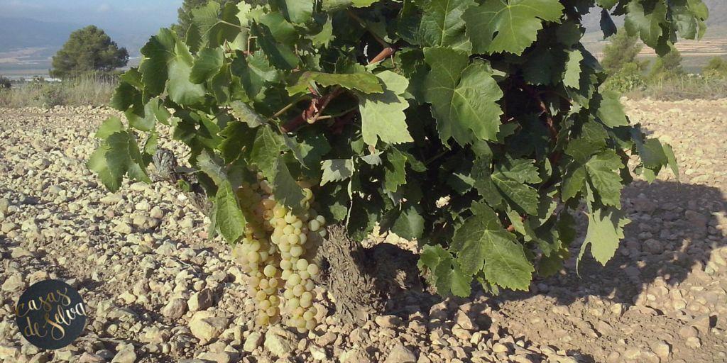 """""""Quien sabe degustar no bebe jamás el vino, sino que degusta secretos"""" (Dalí) Despedida de nuestra #vendimia2014 hasta el próximo año! #viñedos #cepasviejas #agriculturaecológica #organic #Spain"""