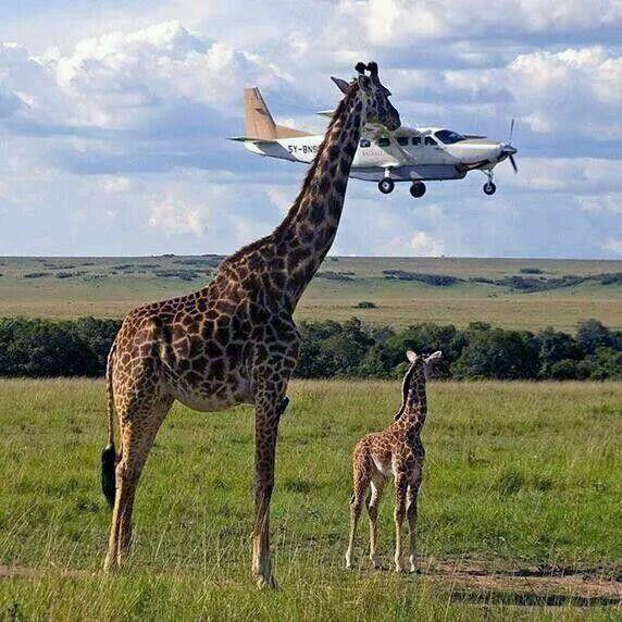 Pin by Jim on Animals Pinterest Animal, Giraffe and Wildlife - animal specialist sample resume