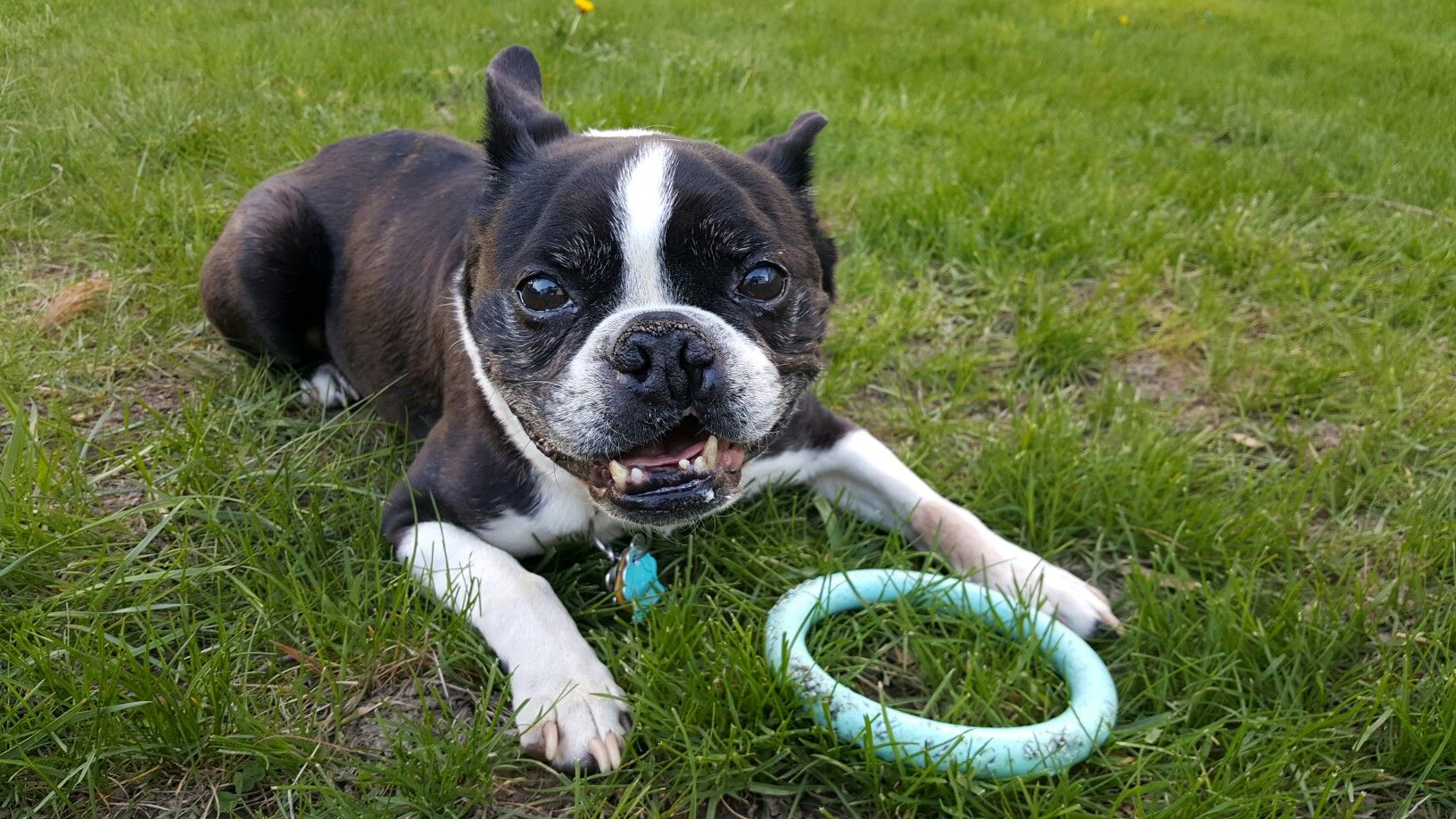 Boston Terrier Duke Almost Put Down At Birth For Partial Cleft