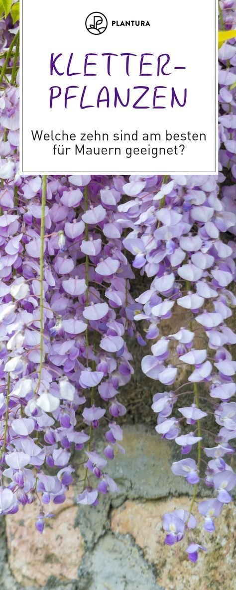 Photo of Climbing plants: the 10 best for fences & walls – Plantura