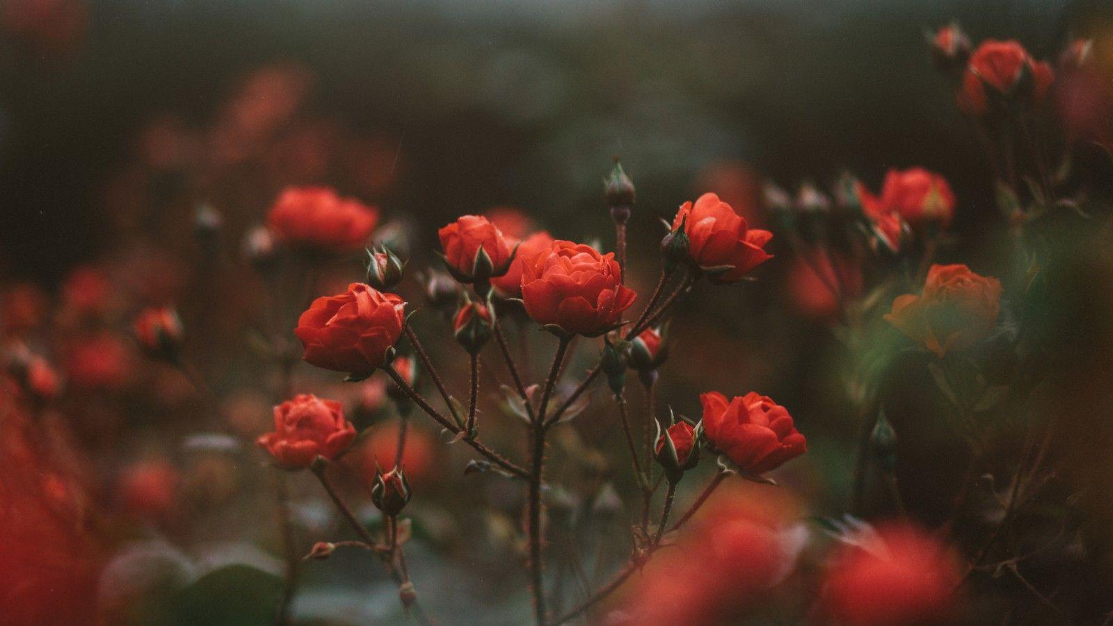 Времена, картинка нежные цветы красные