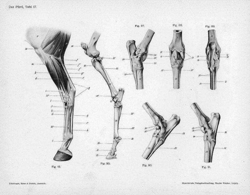 Horse Anatomy By Herman Dittrich Hind Legs Pinterest Horse