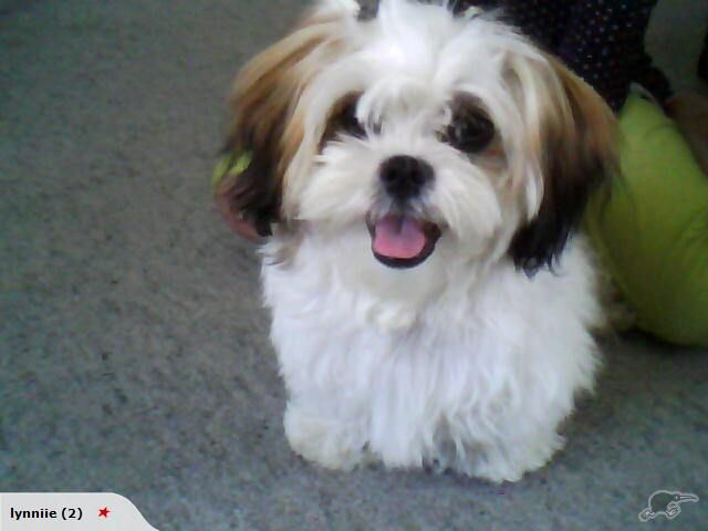 Shih Tzu Affectionate And Playful Puppies Shih Tzu Cute Dogs