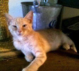 Adopt Tink On Orange Kittens Orange Cat Adoption