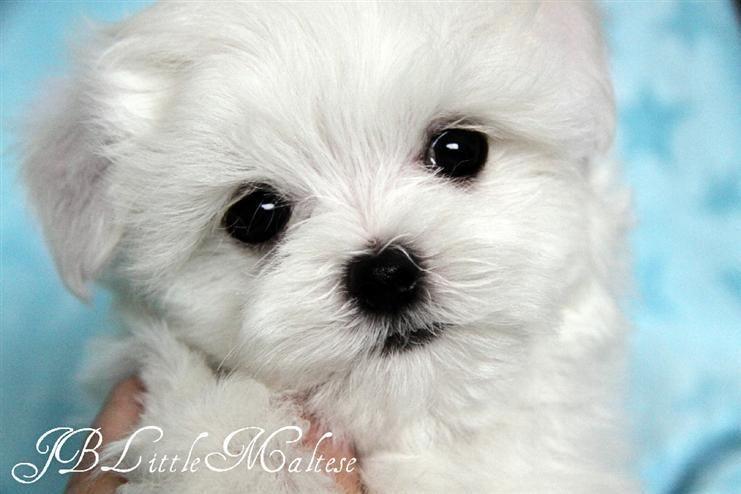 Jb Little Maltese Maltese Puppy Teacup Puppies Maltese Maltese
