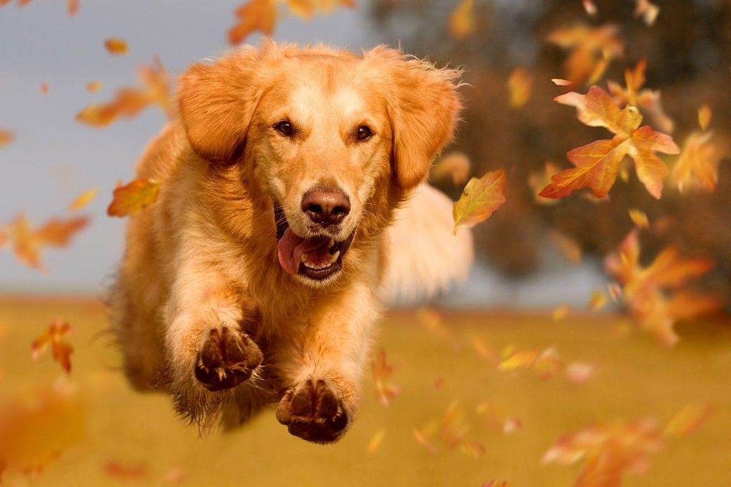 Golden In Fall Dogs Golden Retriever Beautiful Dogs Dogs Puppies