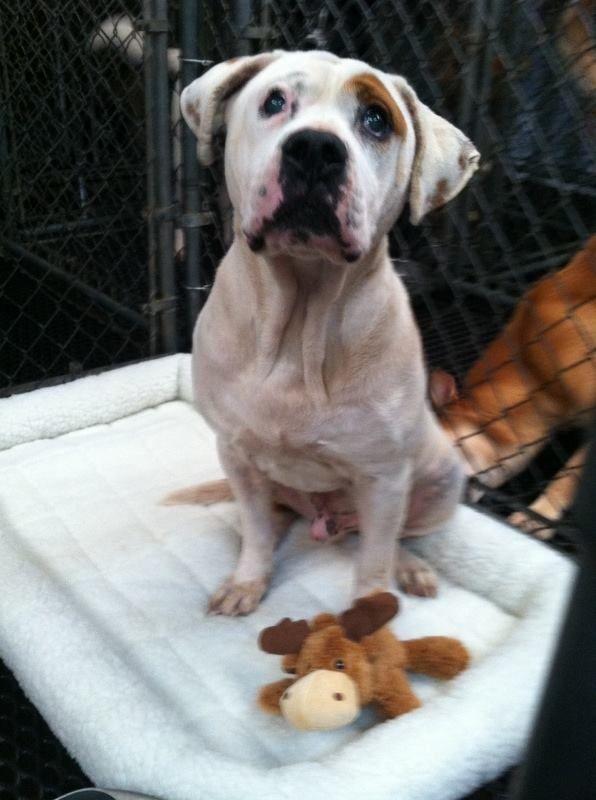 Heartbreaking American Bulldog Bainbridge Ga Petie Well