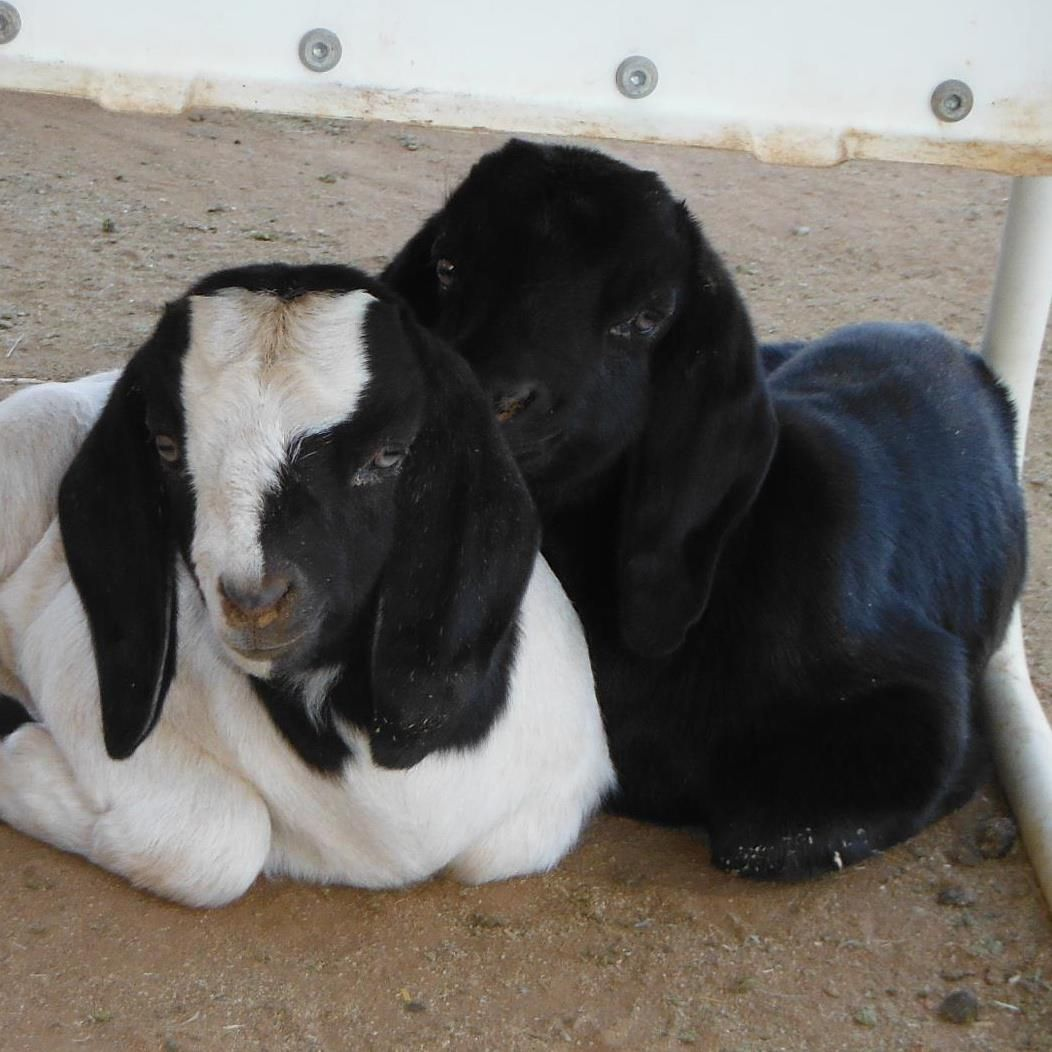 Two of my kids, Etta James (Black doe kid) and her brother (who was purchased by a 4-H human kid to show)