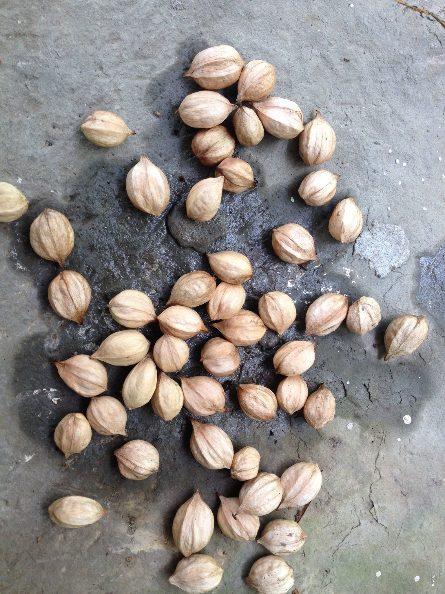 Harvesting And Preparing Hickory Nuts For Long Term