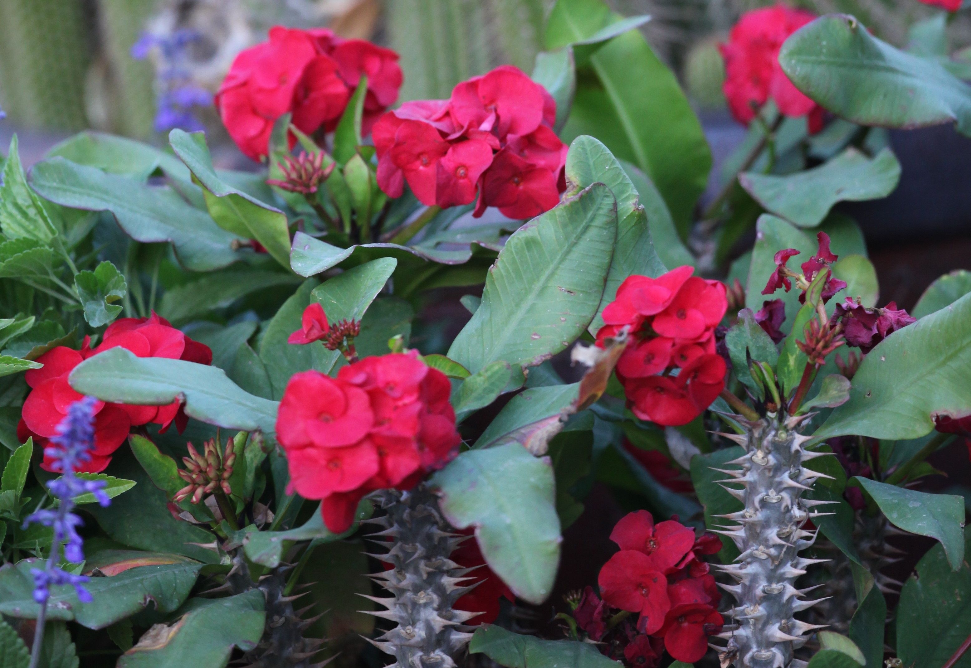 Crown of thorns plant several different colors available for Crown of thorns plant