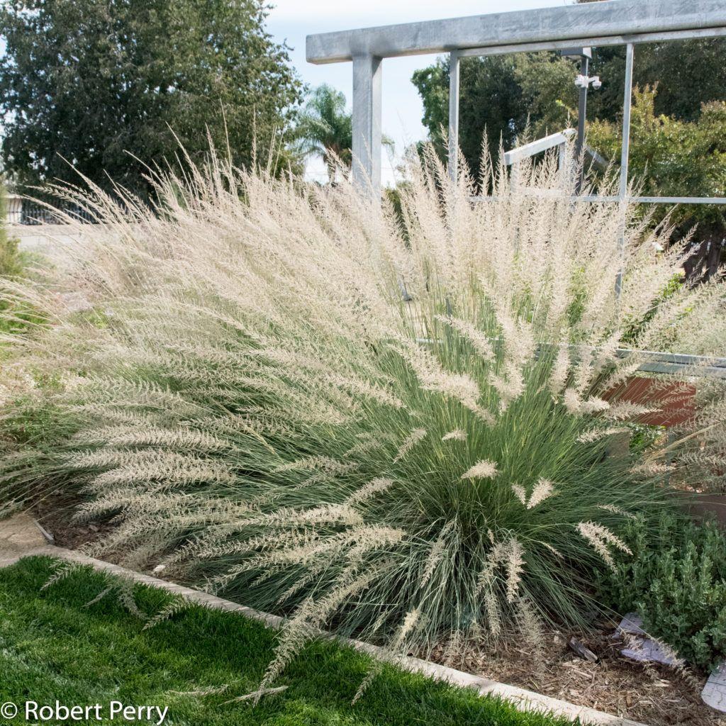 Muhlenbergia Lindheimeri Inland Valley Garden Planner