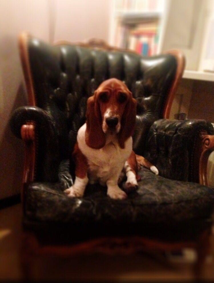 My basset hound