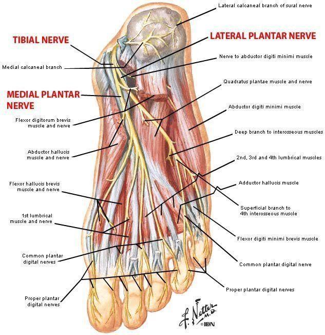 Ankle Nerve Anatomy Images Human Anatomy Organs Diagram