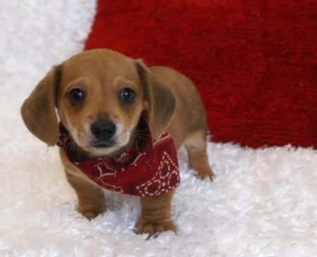 Dachshund puppies for sale bc