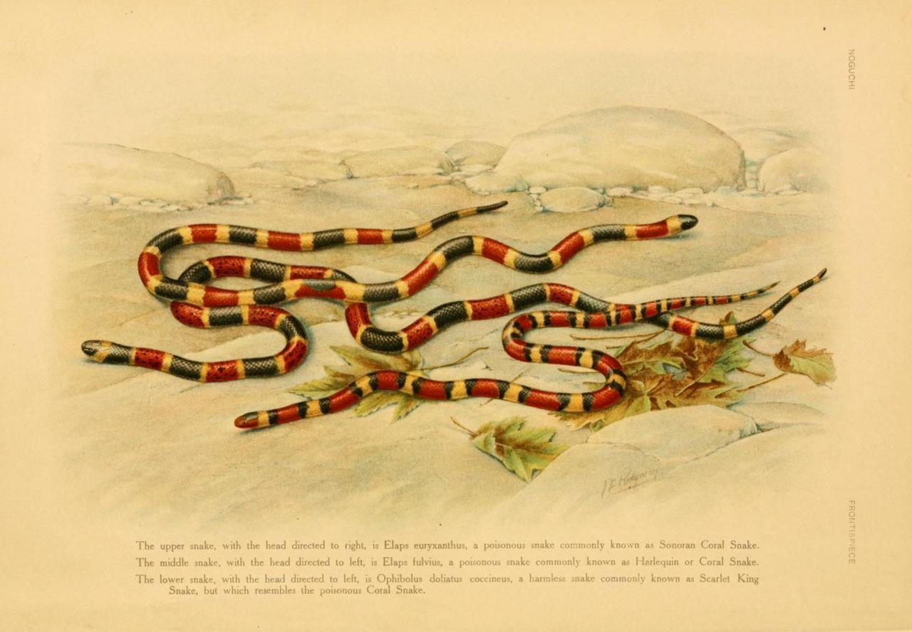 Milk snake coral snake