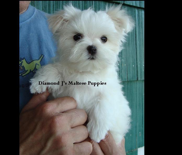 Maltese Puppies For Sale Maltese Breeder Diamond J S Maltese Oregon